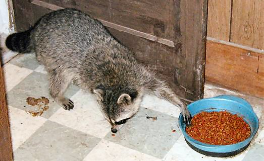 [Raccoon reaches into bowl with paw]